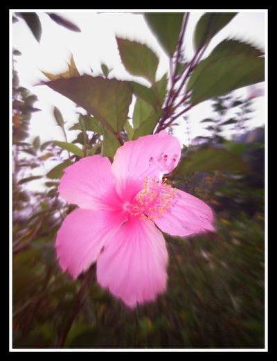 Zoom In Zoomzoom Picture In Motion Flowers,Plants & Garden Flowerstagram Floweroftheday Hibiscus 🌺 Hibiscus Journey HibiscusFlowers Pink Flower 🌸 Love To Take Photos ❤ Loveyou See The World Through My Eyes Seeing The Sights Seetheearth Nature_collection Nature On Your Doorstep Nature Makes Me Smile Nature Textures Naturephotography Tassie Leaves Beautiful Beauty In Nature Beautiful Flowers