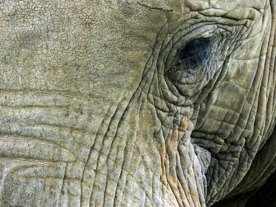 One Animal Animal Themes Full Frame No People Close-up Animals In The Wild Animal Skin Outdoors Nature Kapama Beautiful World Amateur Shot Amateur Photographer Big 5 Bushveld Africa Animal Wildlife Animals In The Wild Mammal Elephant Skin Elephant Ride Elephant Head