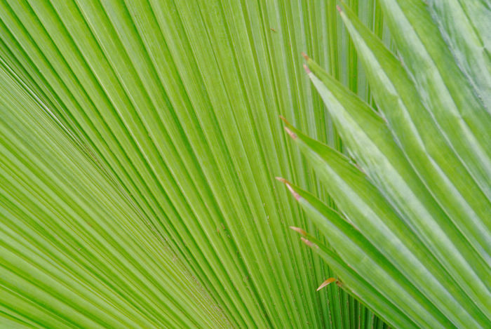 Abundance Backgrounds Beauty In Nature Close-up Day Freshness Full Frame Green Green Color Growth Leaf Natural Pattern Nature No People Outdoors Palm Leaf Palm Leaf Palm Tree Pattern Plam Plant Tranquility