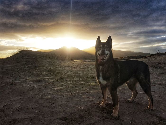 Beach Dog Husky Alsatian German Shepherd Mourne Mountains Pets Sunset Beauty In Nature No People Nature Outdoors Mountain Sky Cloud - Sky