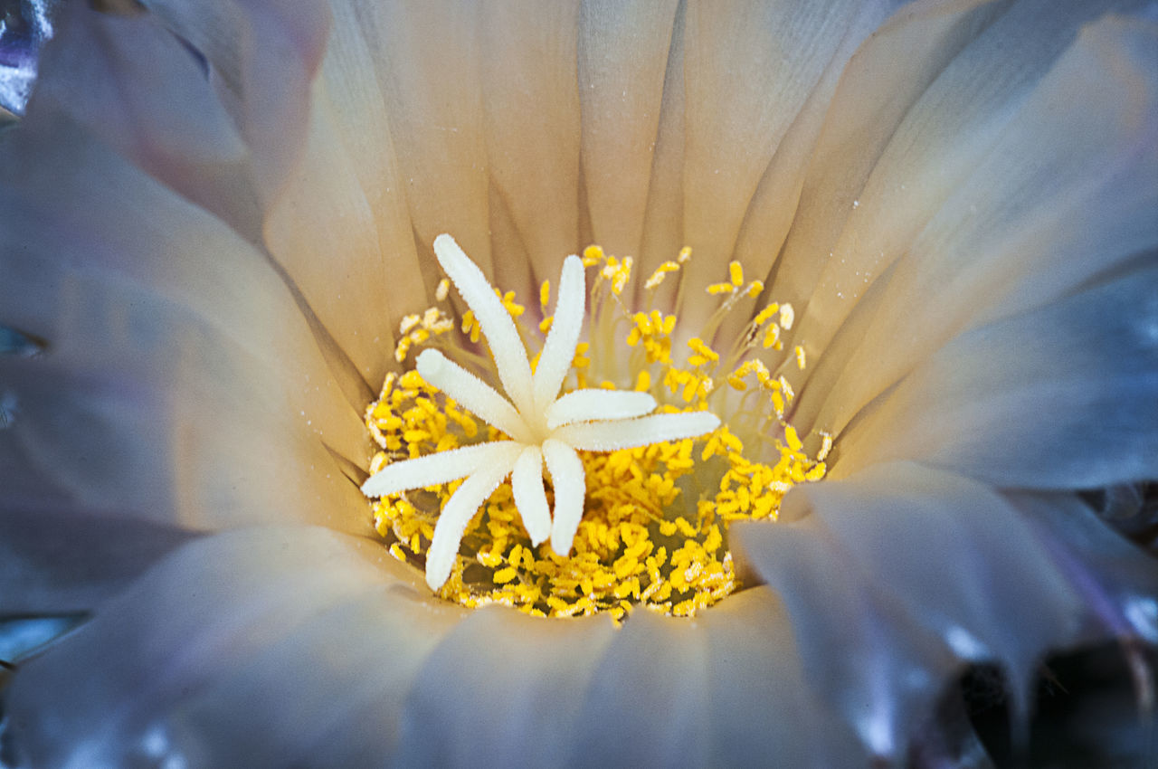Combining two of my interests photography and cacti. Flowerporn Flower Nature Beauty In Nature Close-up Macro Macro Photography Cactus Cactus Flower Cactuslover Cactus Collection Cactusflower
