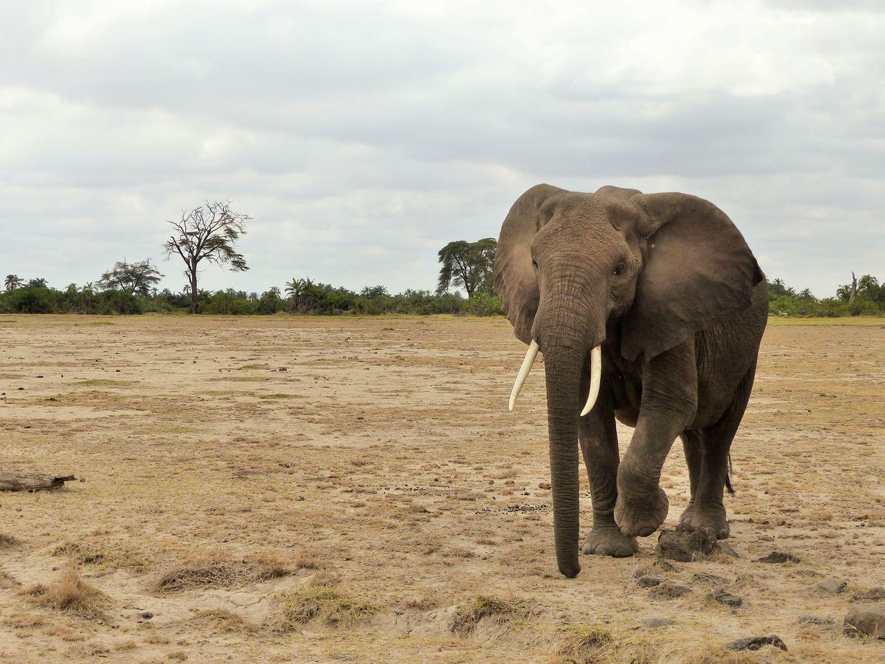 African Elephant Animal Themes Animals In The Wild Elephant Landscape Mammal Nature One Animal Outdoors Safari Animals Tusk