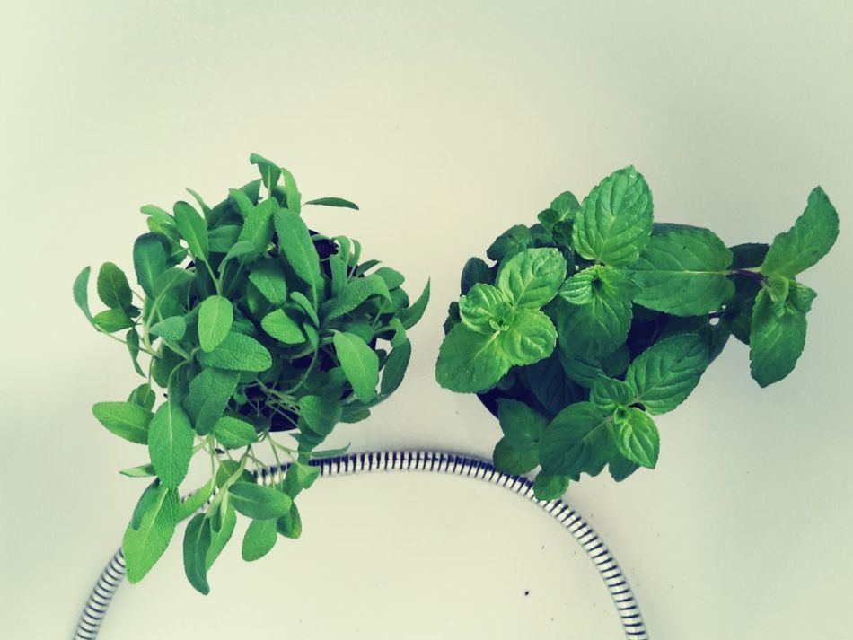 Herbs Green Plants Leaves Spring Mint Bioherbs Mintgreen Salvia Fresh Green Leaves Spring Is Calling Growing Nature Calling Yummy Plant Photography Spices Little Plants🌿 Eyeem Market Tea Time Fresh Tea