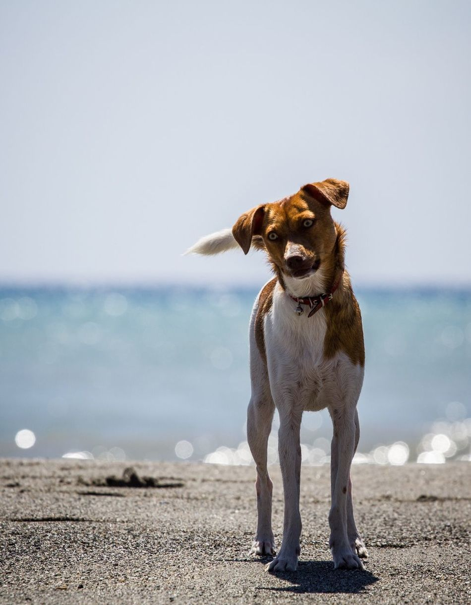 Beautiful stock photos of dogs, Animal Themes, Beach, Canine, Clear Sky