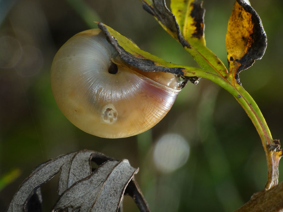 Natural Geometry - Serchio River Beauty In Nature Close-up Focus On Foreground Gasteropoda Gastropod Gastropoda Mollusca Natural Geometry Natural Runden Nature Outdoors Rounded Geometry Rounded Geometry In Nature Rounded Nature Runden In Nature