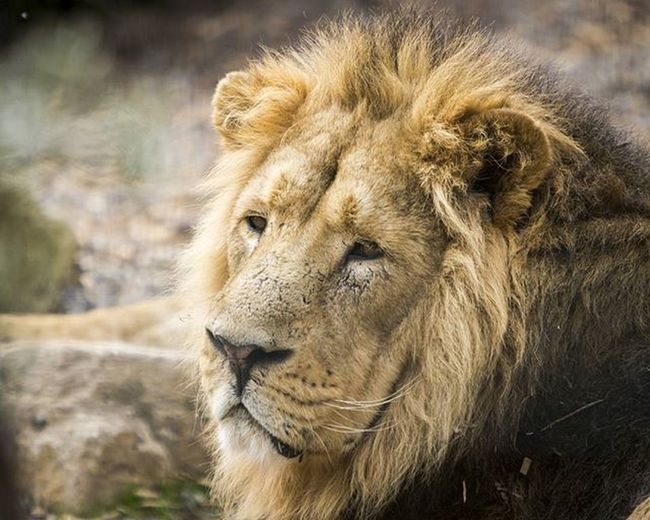 Kumar. Such a magnificent animal. He wasn't very active today so may first attempt at photographing through wire fence. @dublinzoo_official Dublinzoo Lion Kumar Animals Photography Canon Telephoto Ig_photography Wildlife Conservation