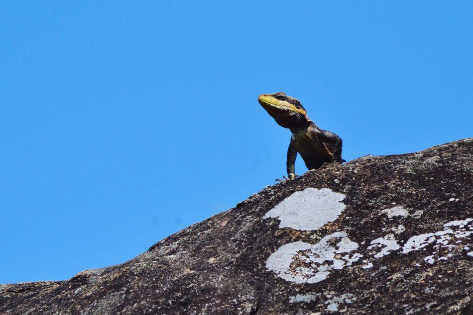 EyeEm Nature Lover Ooty Lizard