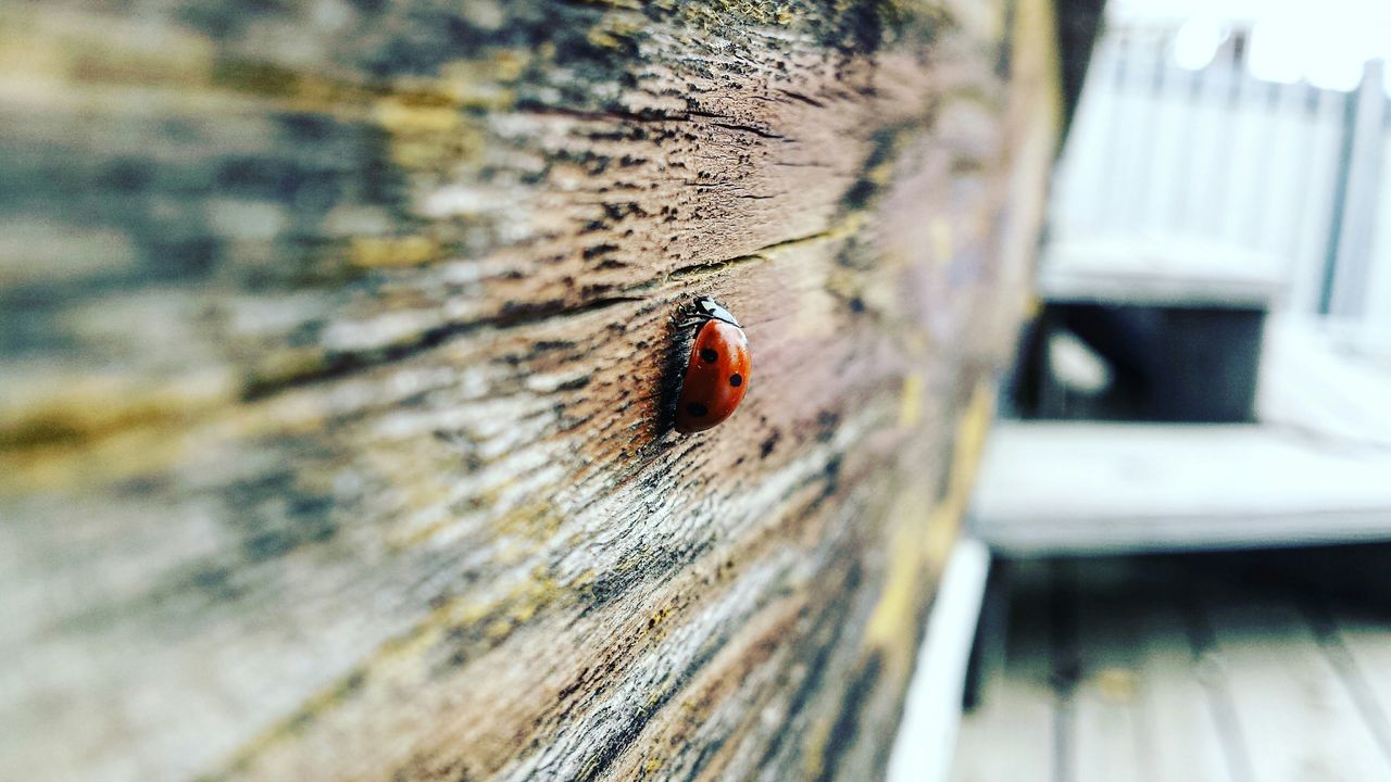 animals in the wild, insect, animal themes, one animal, day, close-up, no people, animal wildlife, ladybug, wood - material, tiny, outdoors, red, nature