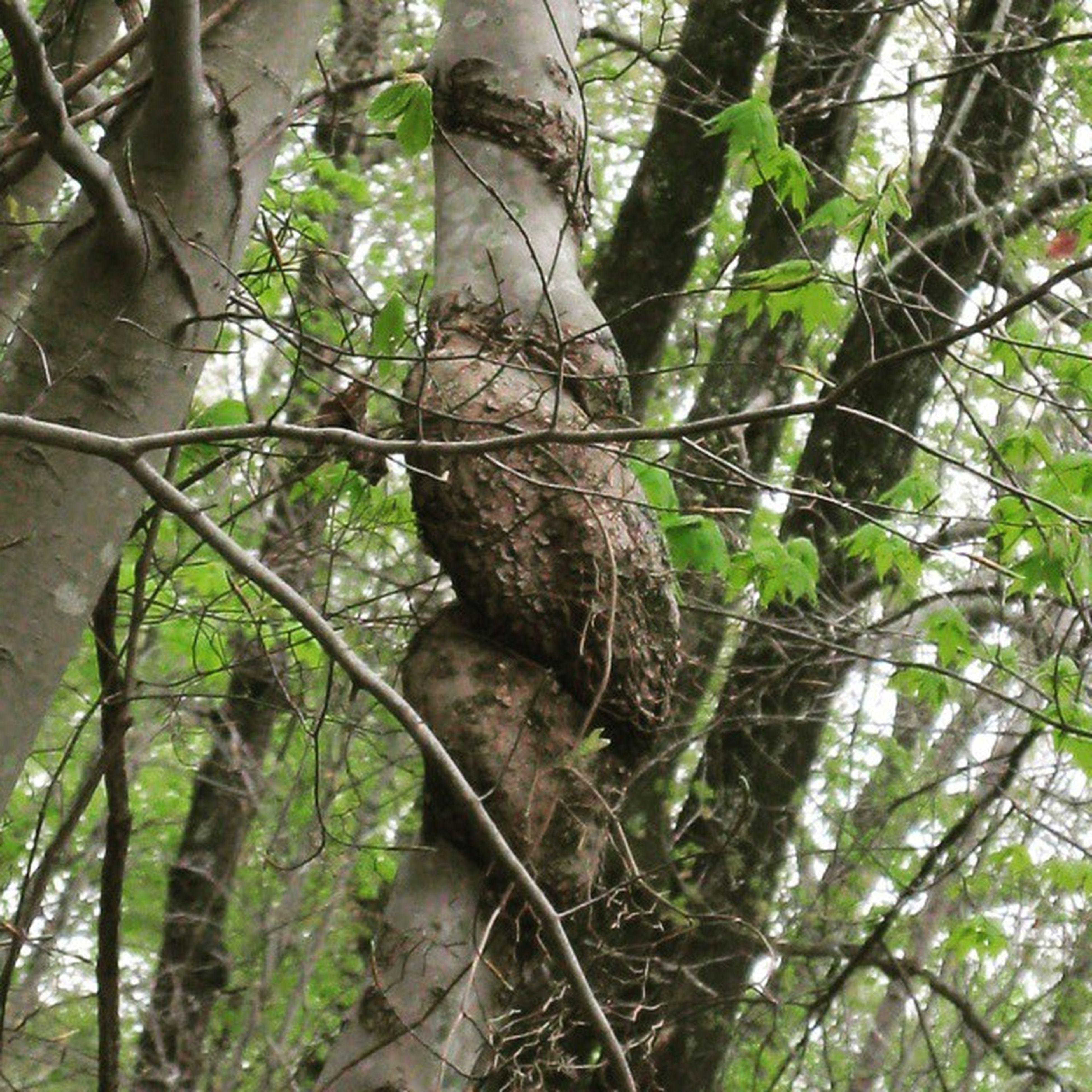 Twistytree Forest Exploring Natureaddict gooutside outdoorlovers tree_captures bestnatureshot igers_of_wv wv_igers wv_nature westvirginia natureonly love_natura