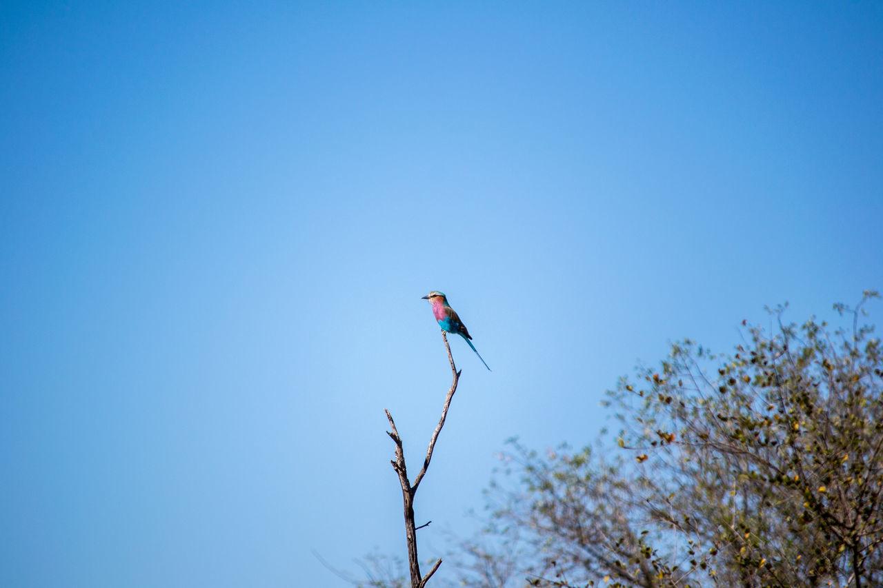 Lilac-breasted roller in the Kruger Park. Bird Bird Photography Bird Watching Birds Birds Of EyeEm  Birds_collection Birds_n_branches Birds🐦⛅ Birdwatching Clear Sky Lilac Lilac-breasted Roller Nature Outdoors Tree