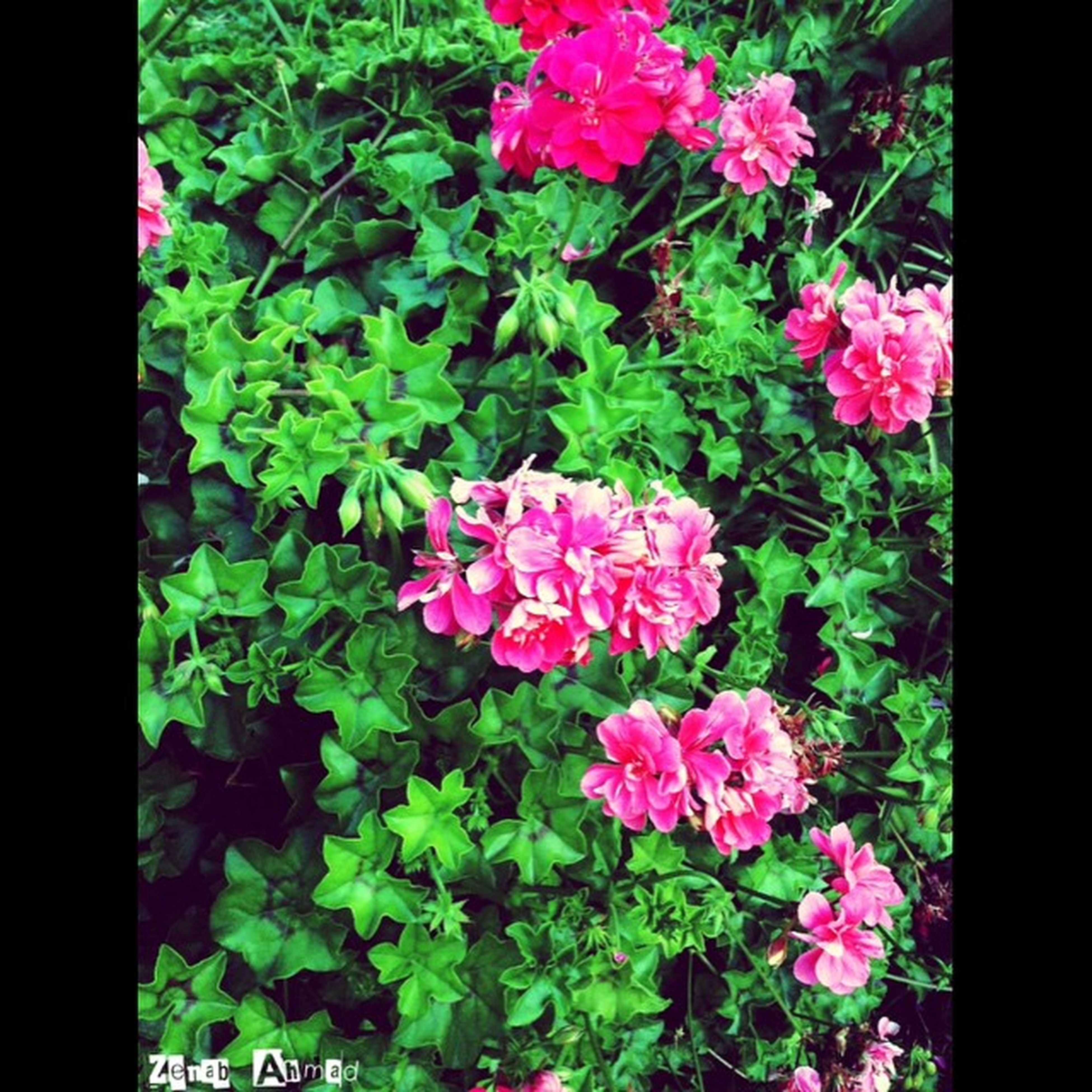 flower, growth, freshness, leaf, fragility, beauty in nature, plant, petal, green color, nature, red, pink color, transfer print, blooming, flower head, in bloom, blossom, close-up, botany, auto post production filter