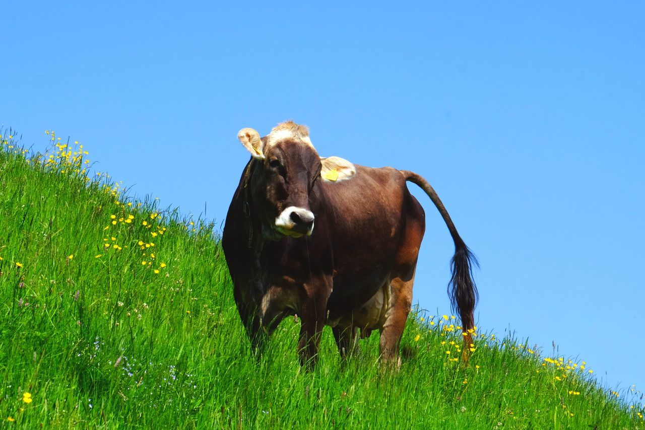 Beautiful stock photos of farm, Animal Themes, Blue, Cattle, Clear Sky