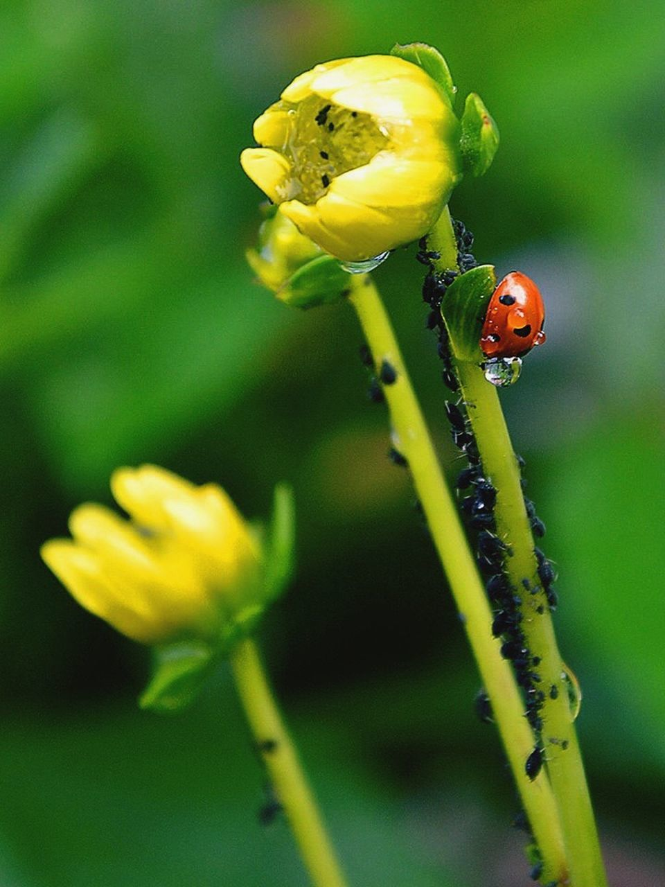 insect, yellow, flower, animals in the wild, nature, animal themes, plant, growth, ladybug, one animal, stem, green color, fragility, outdoors, beauty in nature, close-up, focus on foreground, no people, day, animal wildlife, leaf, tiny, freshness, flower head