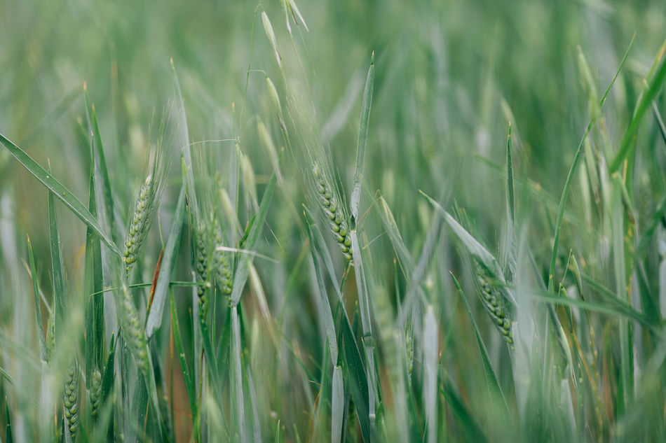 Agriculture Beauty In Nature Bio Cereal Plant Close-up Crop  Cultivated Land Day Ear Of Wheat Farm Field Freshness Grass Green Green Color Growth Nature Nature No People Outdoors Plant Rural Scene Wheat Wheat Wheat Field
