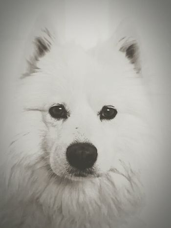 My dog..Sweet Eyes Lovely Love Photography Awesome Photo Friend First Eyeem Photo Dog Love Dog Beautiful ♥ Samoyed Samoyede's Dog Sweets Dogy My Love Happy Photographer Taking Photos Blackandwhite Photography Vintage White Friends ❤ . My World