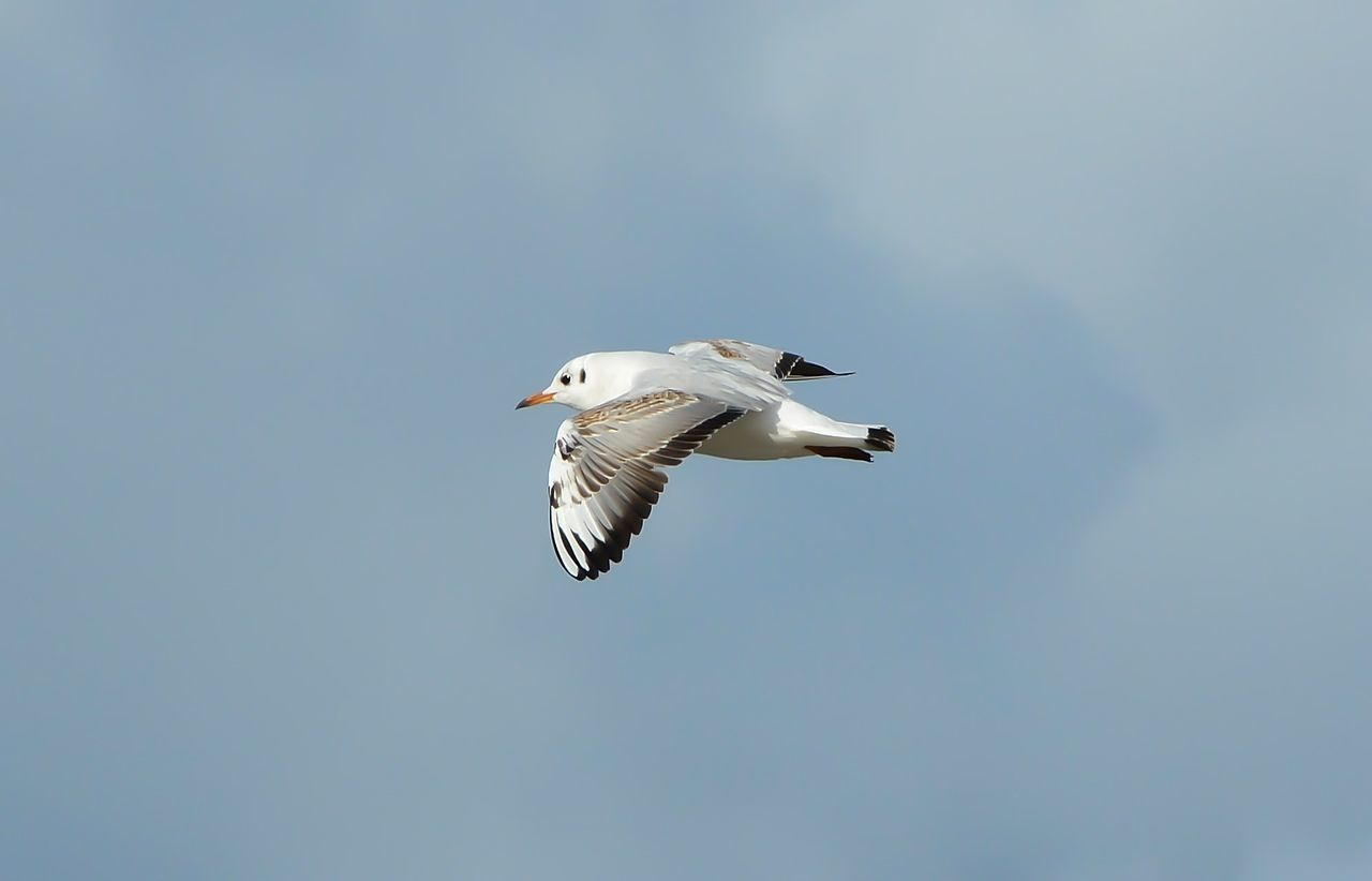 Animal Themes Animal Wildlife Animals In The Wild Bird Black-headed Gull Day Flying Nature One Animal Outdoors Seagull Sky Spread Wings