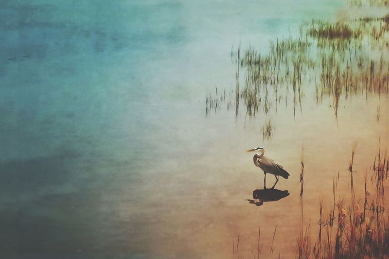Nature Nature Photography Empty Space Grassy Waters Bird Photography Blue Heron