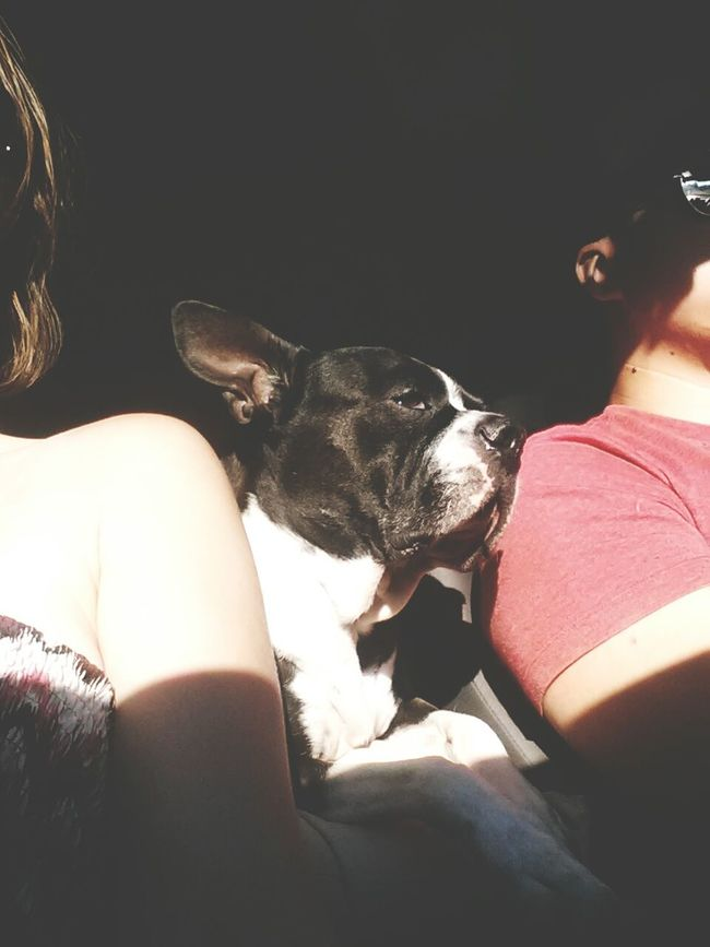 Summer Dogs Travellingwithmylove Road Trip Boston Terrier EyeEm Animal Lover Light And Shadow Dog Love meet Marty Traveler Travel Time!!! summer, sunshine and car rides are this guys happy place. Travel TakeoverContrast