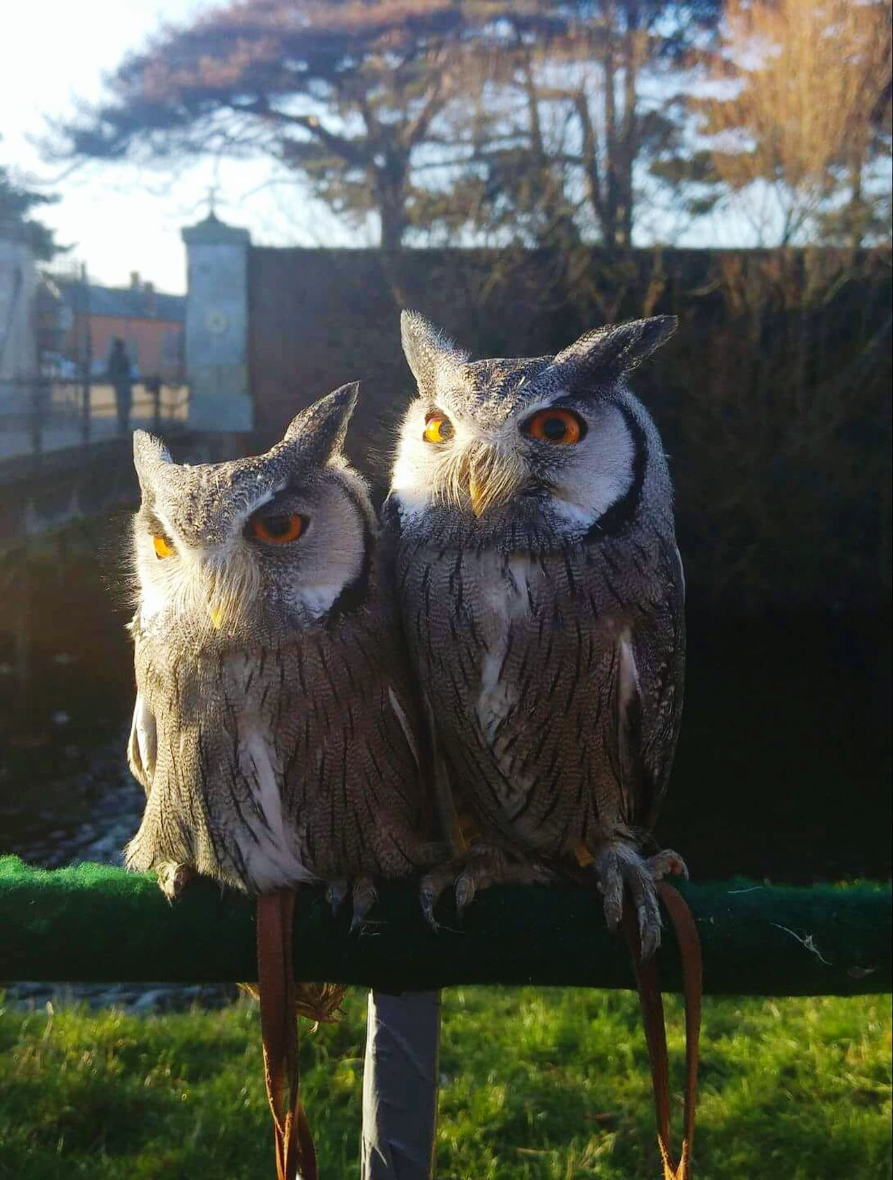 Owls Birds Of Prey Togetherness No People Animal Themes Sunlight Outdoors Day Owl Eyes Owl Photography Close-up Beautiful