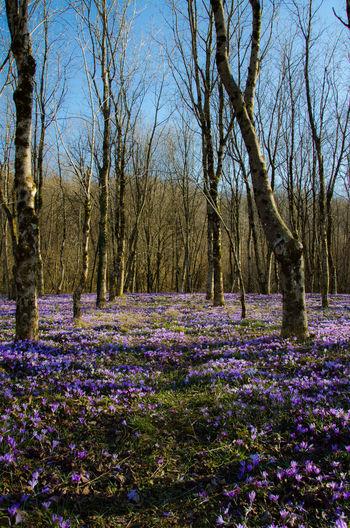 A Purple Blanket EyeEmNewHere Crocus Flower Friuli Venezia Giulia Beauty In Nature Blanket Flower Fragility Freshness Italy Landscape Nature Outdoors Purple Flower Springtime Tranquil Scene Tranquility Tree Woods Day Sky
