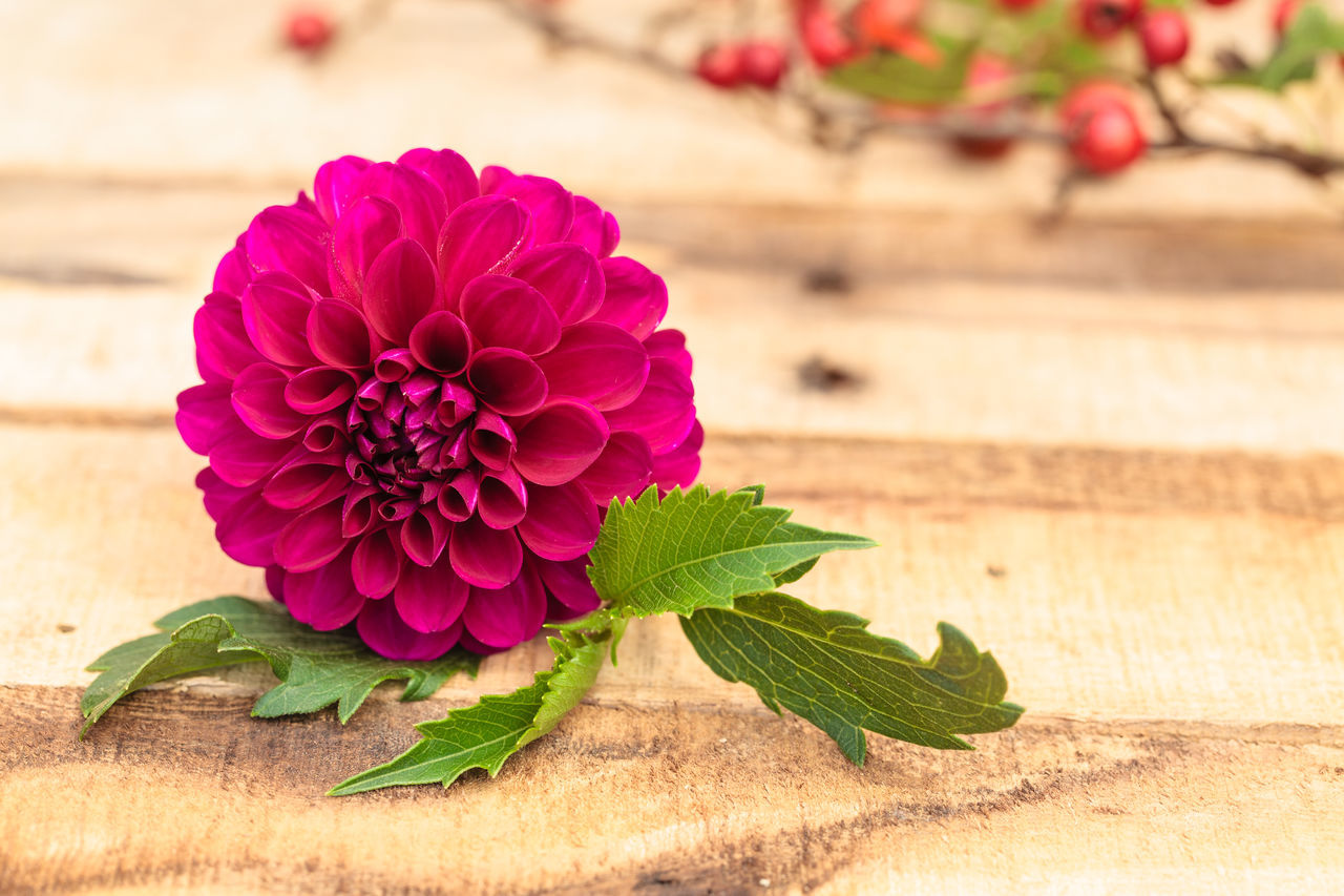 Beauty In Nature Close-up Dahlia Day Dog-rose Flower Flower Head Focus On Foreground Fragility Freshness Leaf Nature No People Outdoors Petal Plant Red Rose Hips