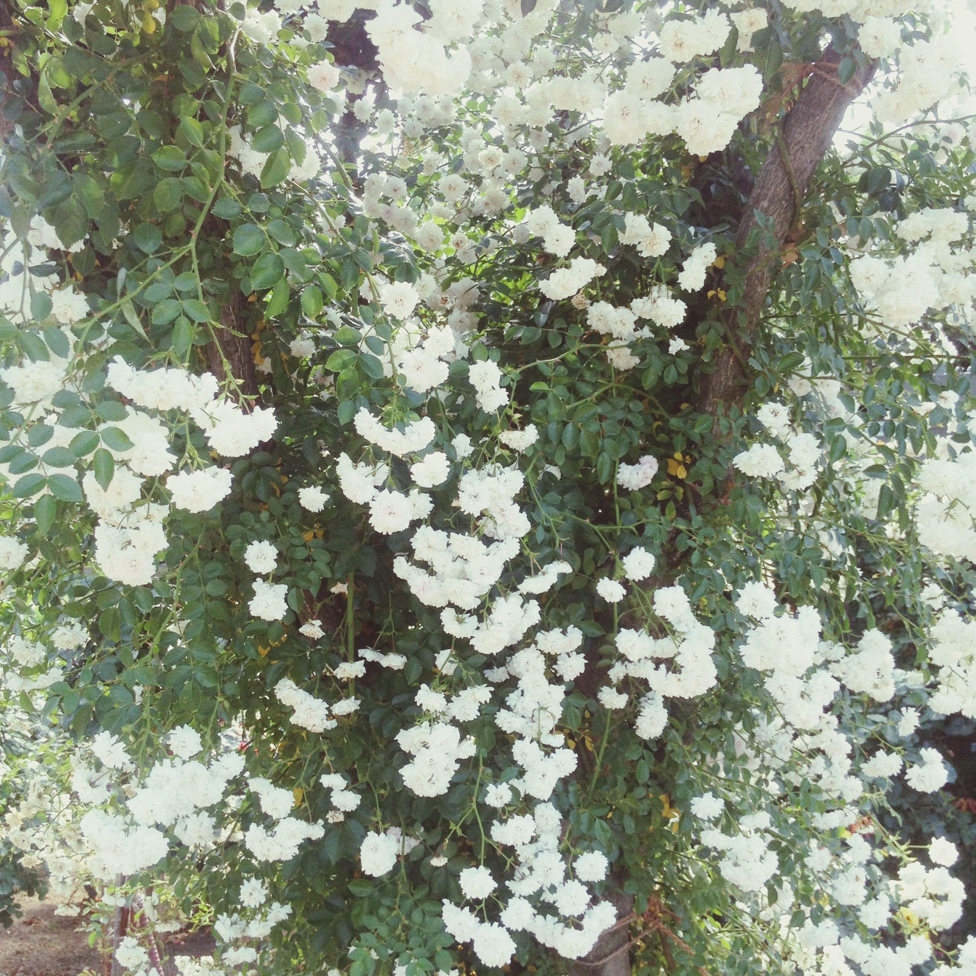 growth, flower, white color, nature, leaf, tree, beauty in nature, freshness, fragility, plant, branch, white, day, outdoors, blossom, close-up, no people, botany, growing, springtime