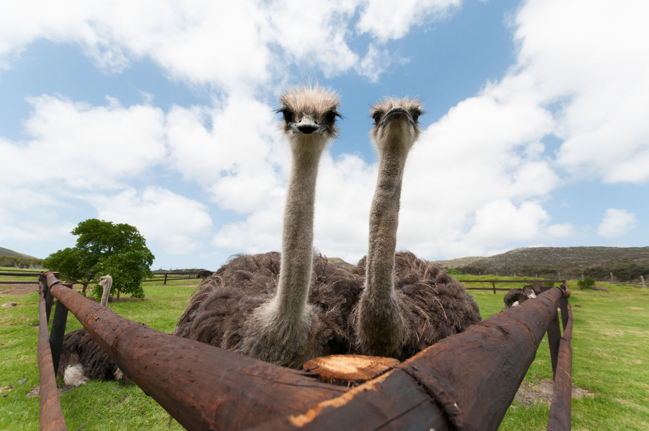sky, animal themes, cloud - sky, day, outdoors, no people, mammal, ostrich, nature, animals in the wild, grass, domestic animals