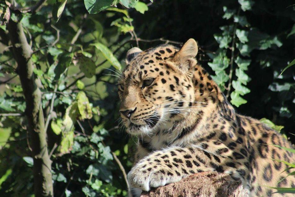 Beautiful stock photos of leopard, Animal Behavior, Animal Themes, Close-Up, Day