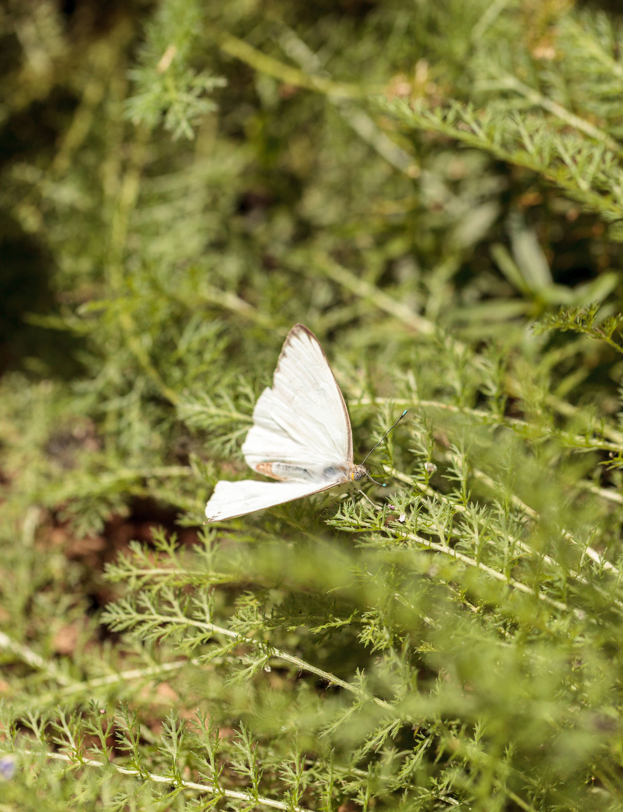 Great southern white butterfly, Ascia monuste, in a botanical garden in spring Ascia Monuste Beauty In Nature Butterfly Close-up Day Flower Fragility Garden Great Southern White Insect Leaf Nature No People Outdoors Spring Wings