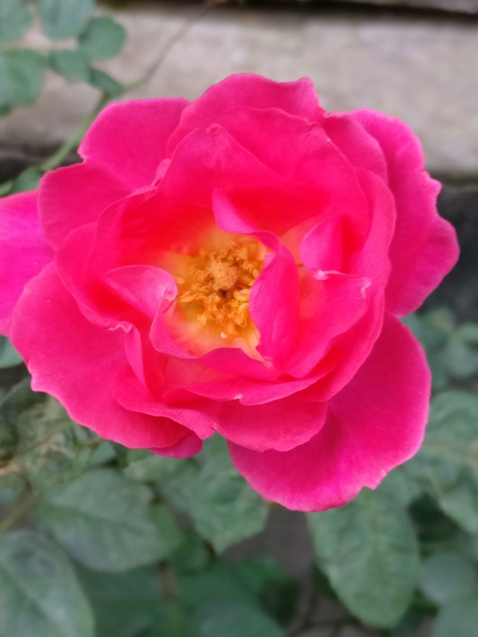 flower, petal, fragility, beauty in nature, nature, flower head, pink color, plant, freshness, growth, close-up, no people, wild rose, outdoors, rose - flower, day, blooming