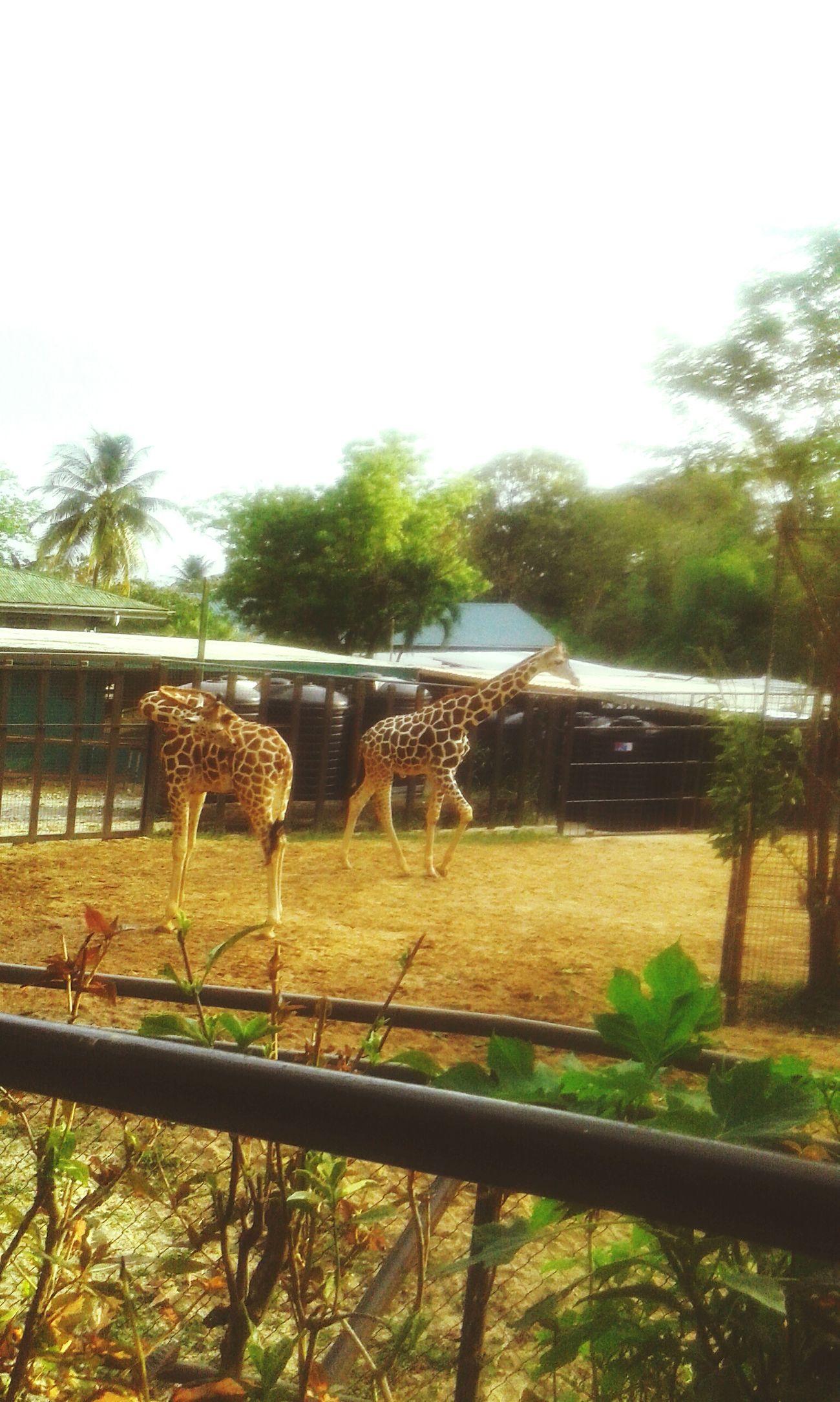 Nature Animal Themes No People Giraffe♥