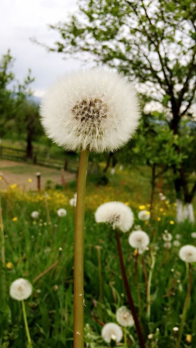 Dandelion Spring Flowers Beautiful Adinafrasinphotography Spring Flowers Beautiful Nature Nature OpenEdit