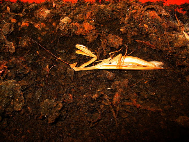 Close-up Dead Insect Detail Earth Manguste No People One Insect Sicily, Italy