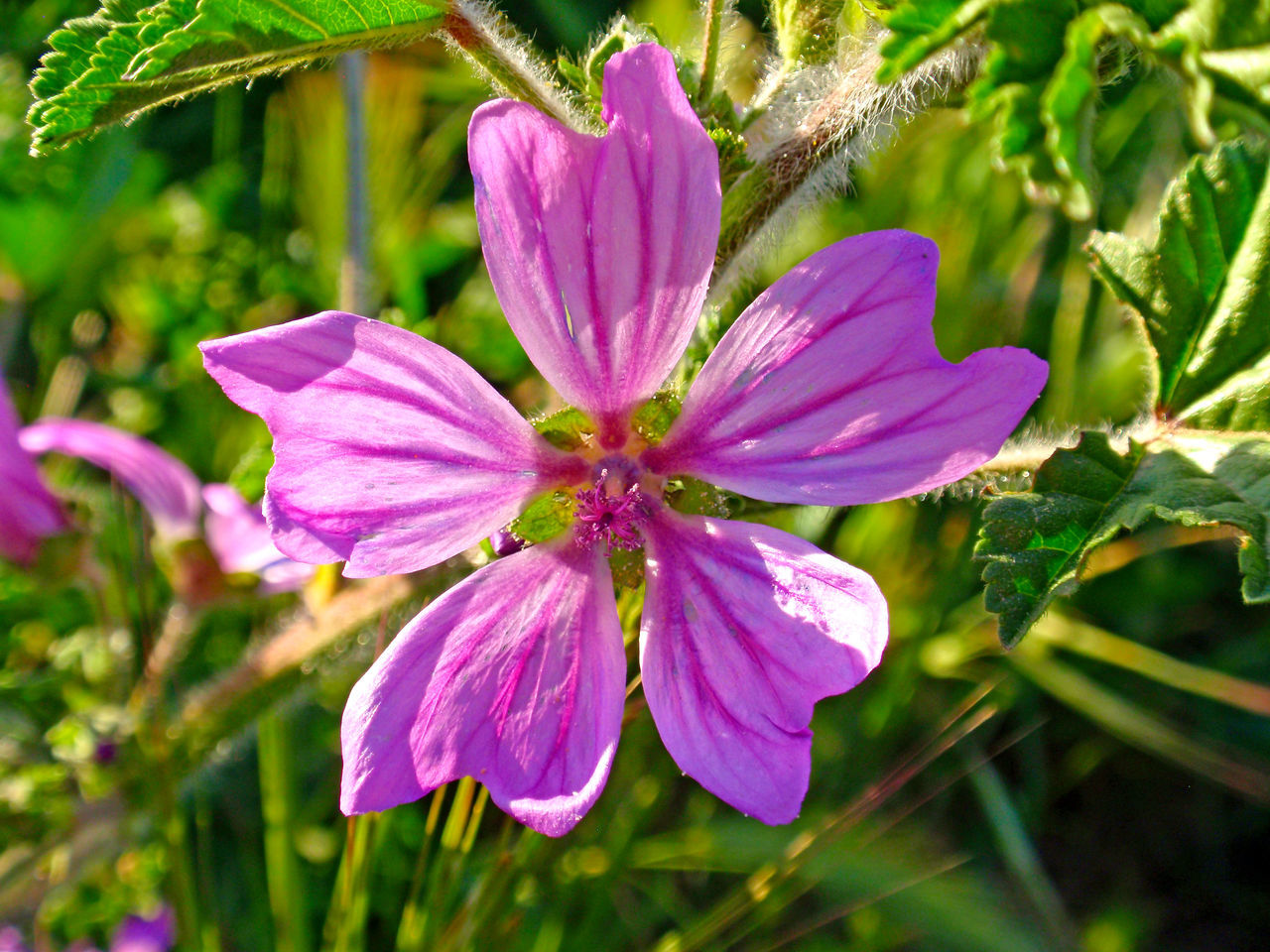 Beauty In Nature Blooming Close-up Common Mallow Day Flower Flower Head Fragility Freshness Growth Mallow Mallow Flower Malva Malva Sylvestris Medicinal Herb Medicinal Plant Nature No People Outdoors Petal Pink Color Plant Purple Water