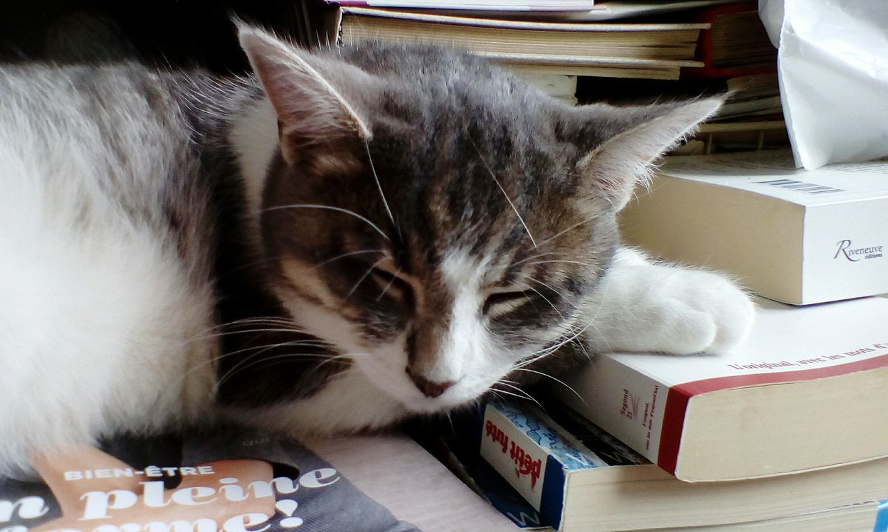 domestic cat, indoors, domestic animals, pets, one animal, feline, book, animal themes, mammal, table, no people, close-up, day