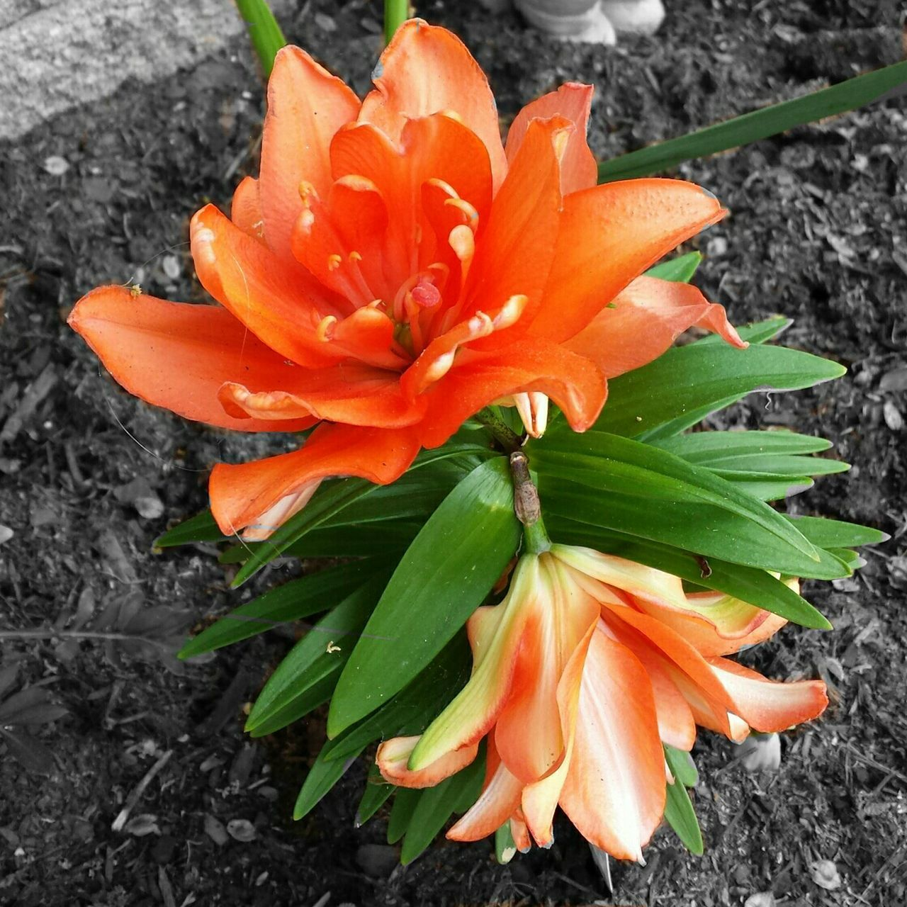 Orange By Motorola Flowers,Plants & Garden Flowers Flowerpower Blackandwhitebutnot Check This Out Orange Orange Flower Orang