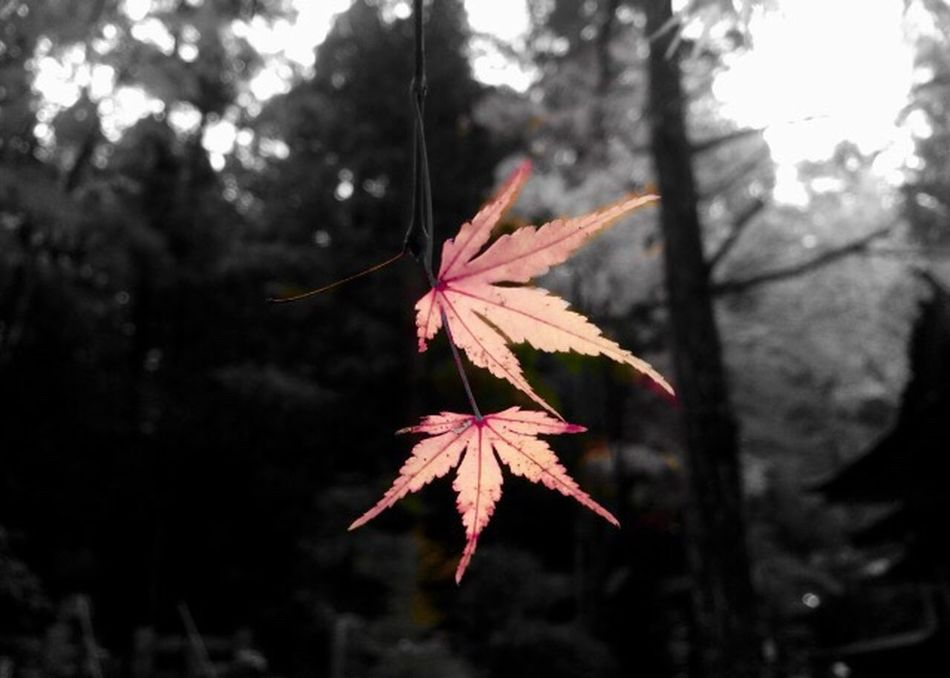 Autumn Leaf Nature Change Maple Leaf Tree Beauty In Nature Focus On Foreground Close-up Outdoors No People Maple Low Angle View Day Branch Hello World Japan Japanese  https://youtu.be/_g19fCJotPc