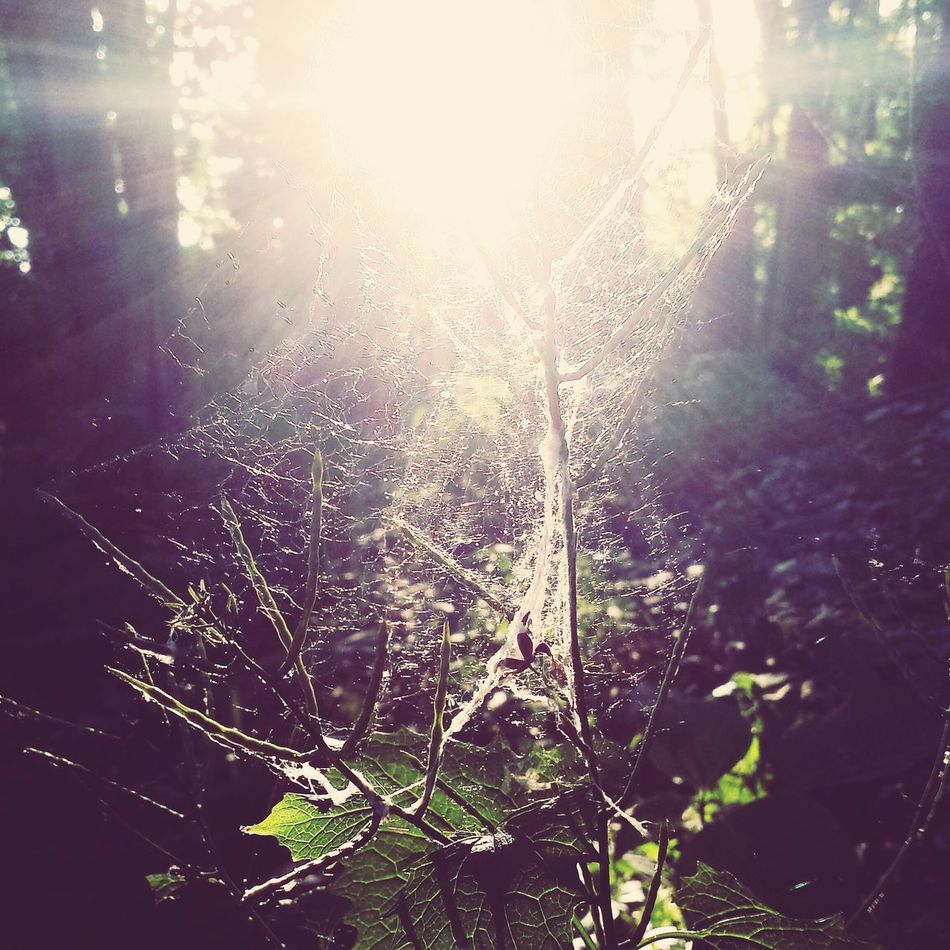Spider Web Web Close-up Focus On Foreground Nature Fragility Intricacy Backgrounds Beauty In Nature Forest Forest Photography Tree Plant Sun Sunbeam Sunrays Sunray Tranquility Tranquil Scene Background Nature_collection Naturephotography Nature Backgrounds