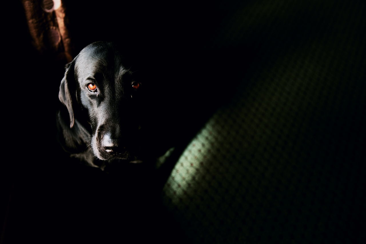 Portrait of an old friend. Animal Themes Black Background Companion Dark Dog Family Friend Friends Friendship Indoors  Labrador Retriever Looking At Camera Love Loyalty Man's Best Friend Natural Light Nature No People Pets Portrait