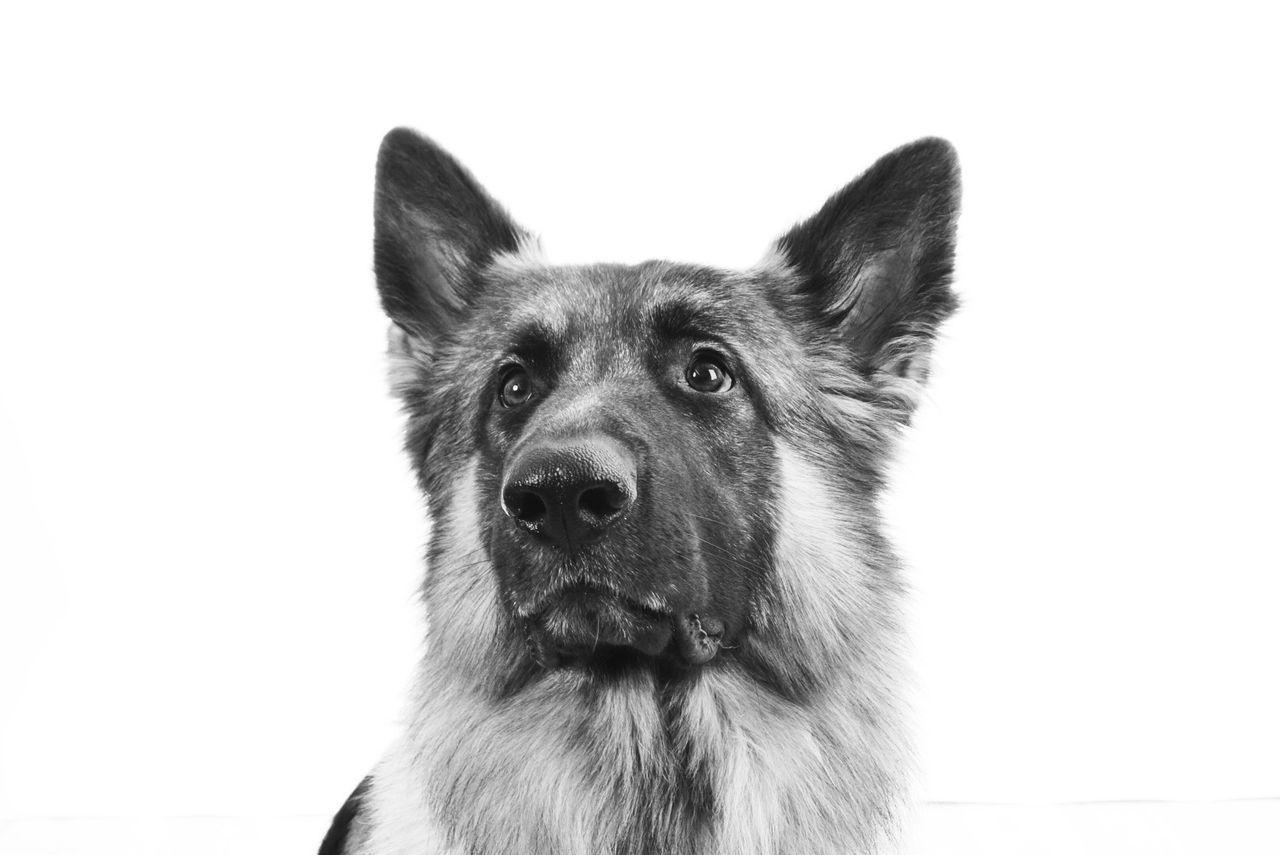 Beautiful stock photos of german shepherd, Animal Head, Animal Themes, Copy Space, Dog