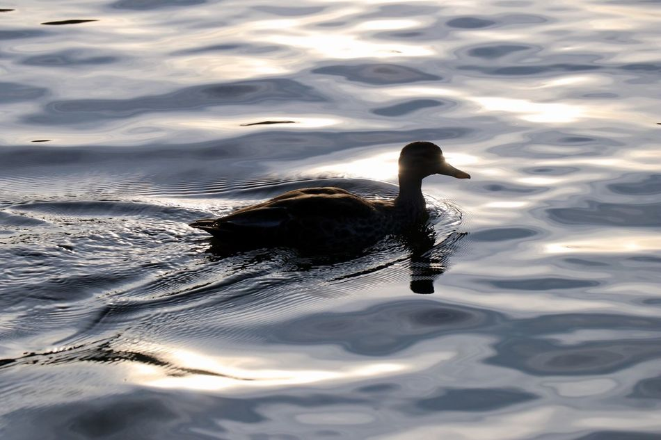 A solitary duck swimming in the Ooty lake. 1030334 Photo Photography Art Is Everywhere India Lake Water Duck Bird Animal Canon Ooty Rippled Reflection Art Is Everywhere EyeEmNewHere