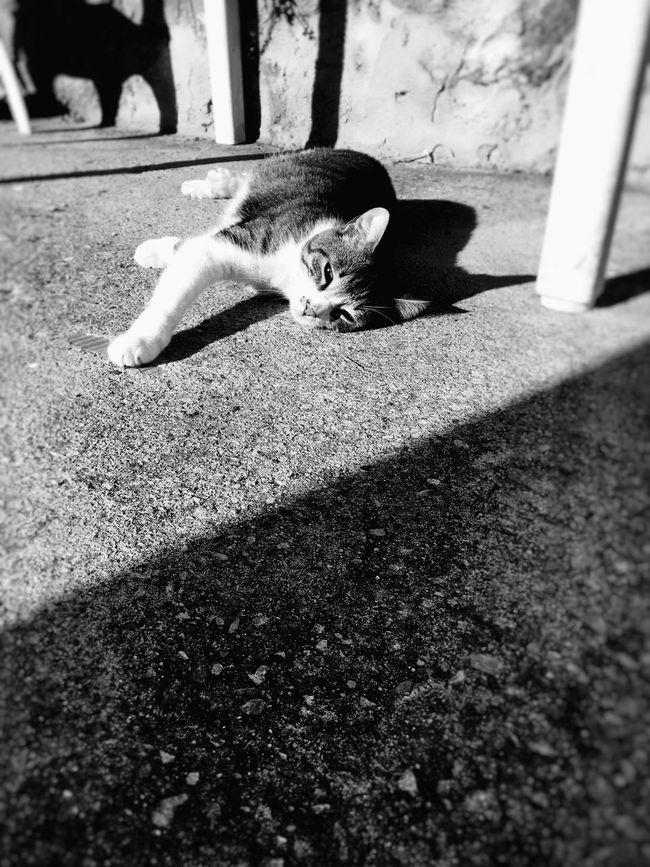 Cat Blackandwhite Beautifull Creature Animals Black & White