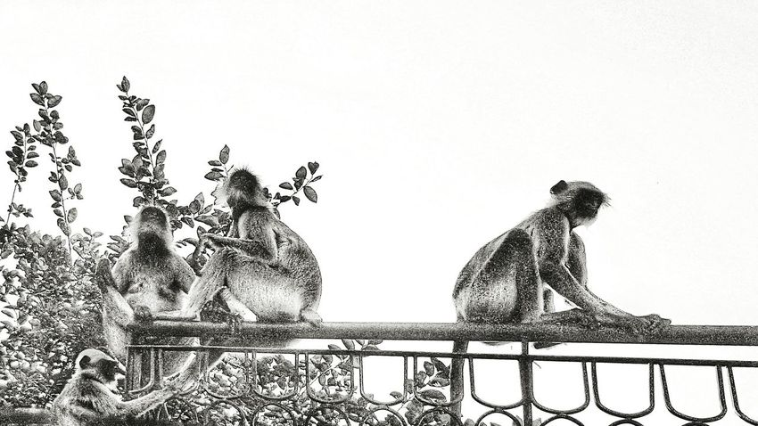 Black & White India Monkeys Black&white