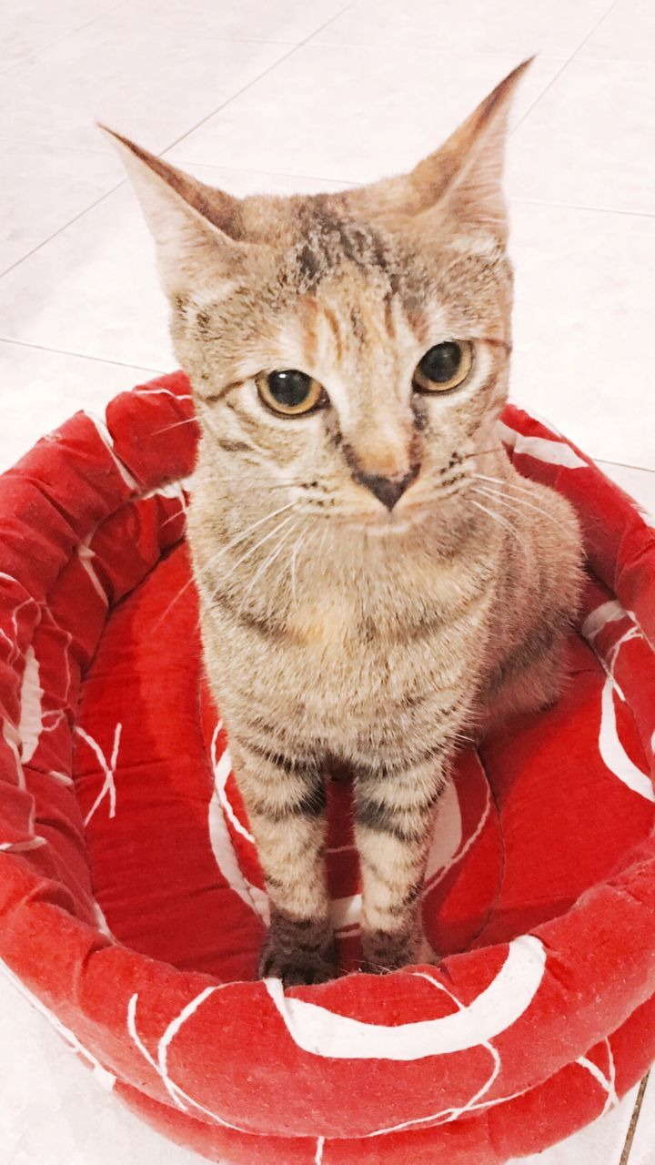 domestic cat, pets, domestic animals, one animal, animal themes, feline, mammal, whisker, sitting, indoors, no people, red, portrait, looking at camera, day, close-up