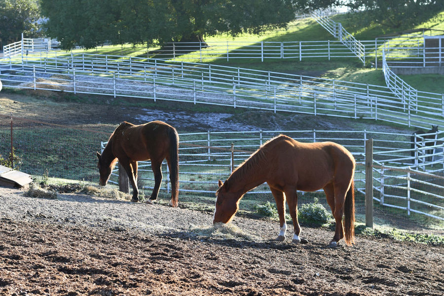 Horses in Morning Light Animal Themes Day Domestic Animals Field Full Length Grazing Horse Livestock Mammal Nature No People Outdoors Standing