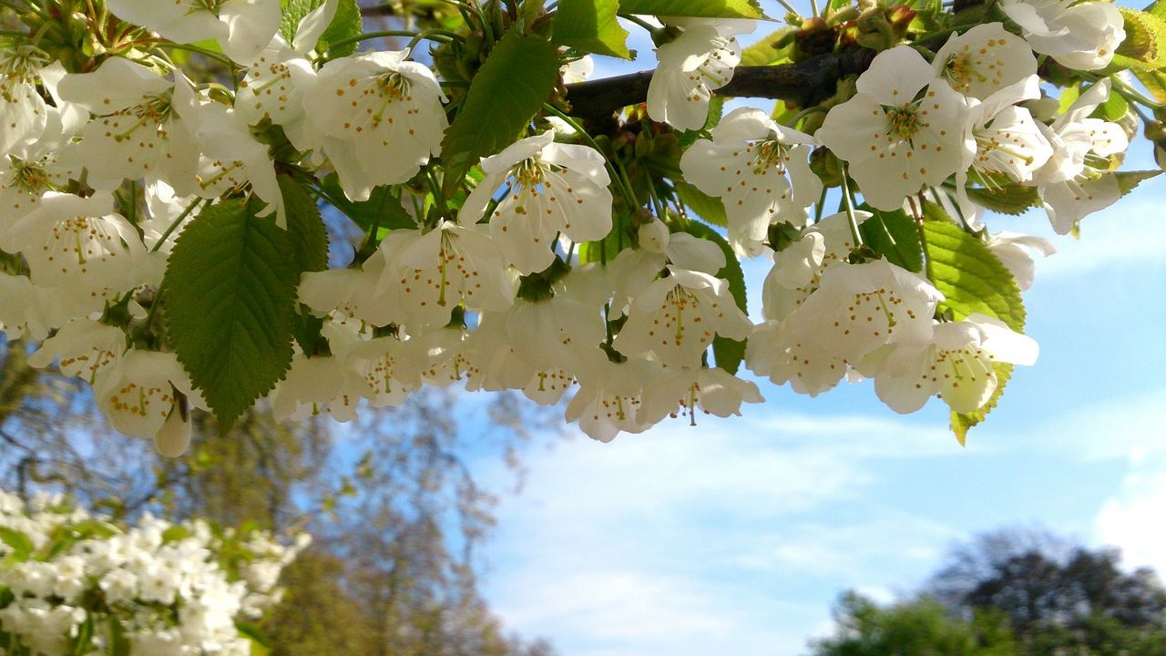 Spring Cherry Flowers Flower Blossom Flowers White Flowers Branche Spring Flowers Perfume Nature Nature Photography Macro Nature Colour Of Life