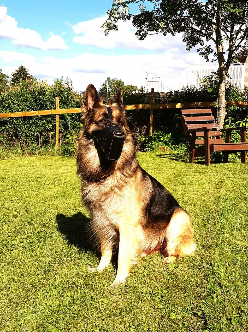Check This Out German Shepherd Summertime Security Dog Guard Dog