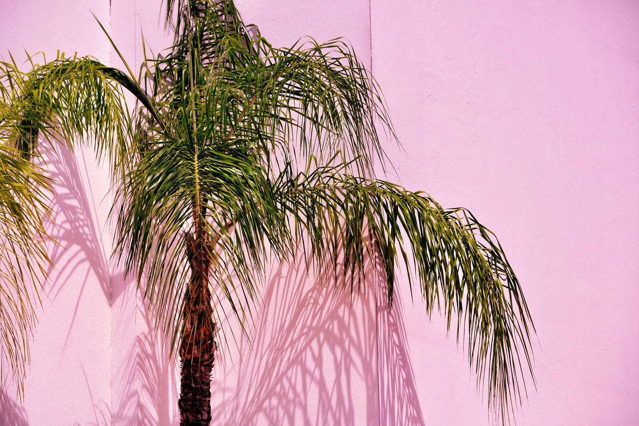 day Green Green color Low angle view outdoors palm frond Palm Leaf Palm tree Pink pink color Pink wall tropical tree Adapted to the City