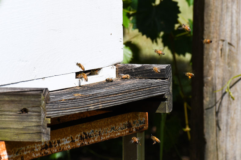 Bees Entering Hive 1211 Bee Bee 🐝 Beehive Close-up Insect Insect Theme Insects  Insects In Action Insects In Flight Insects In Nature Nature Outdoors