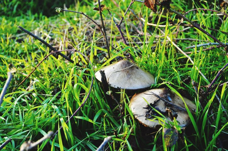 🍄🍄 Mushroom Nature Grass Toadstool Growth Fungus Beauty In Nature Green Color Fly Agaric No People Field Close-up Outdoors Day Freshness Animal Themes